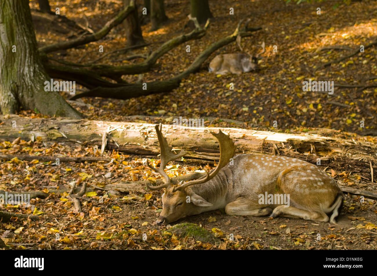 Österreich, Wien 13, Damwild im Lainzer Tiergarten, einem ehemals eingefriedeten kaiserlichen Jagdgebiet in - Stock Image