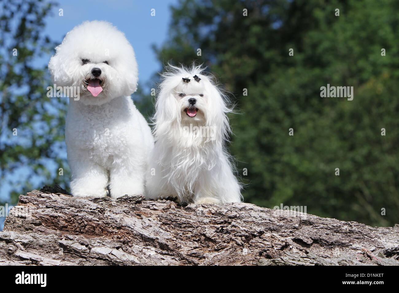 Dog Bichon Frise - Maltese / two varieties of bichon Stock