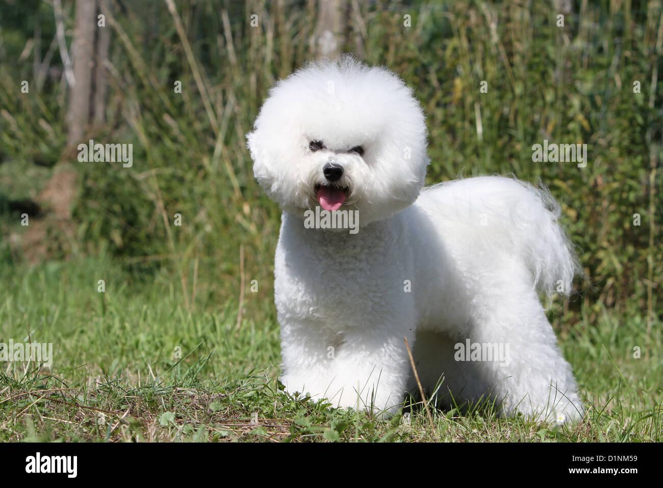 Dog Bichon Frise adult standard profile