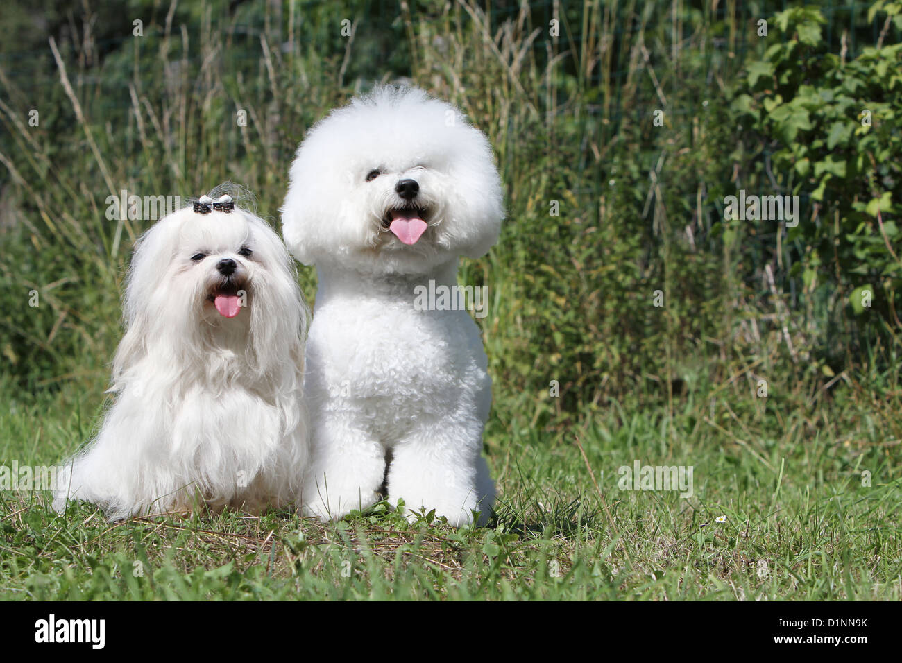 bichon frise vs maltese dog bichon frise maltese two varieties of bichon stock 3417
