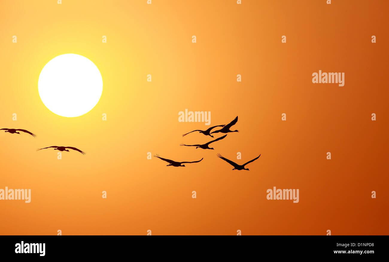 Demoiselle crane(Anthropoids Virgo),Crane,Bird,Wildlife,Flock of bird,Animal  in wild,Sunset,Sunrise,Sunlight,Sunset - Stock Image