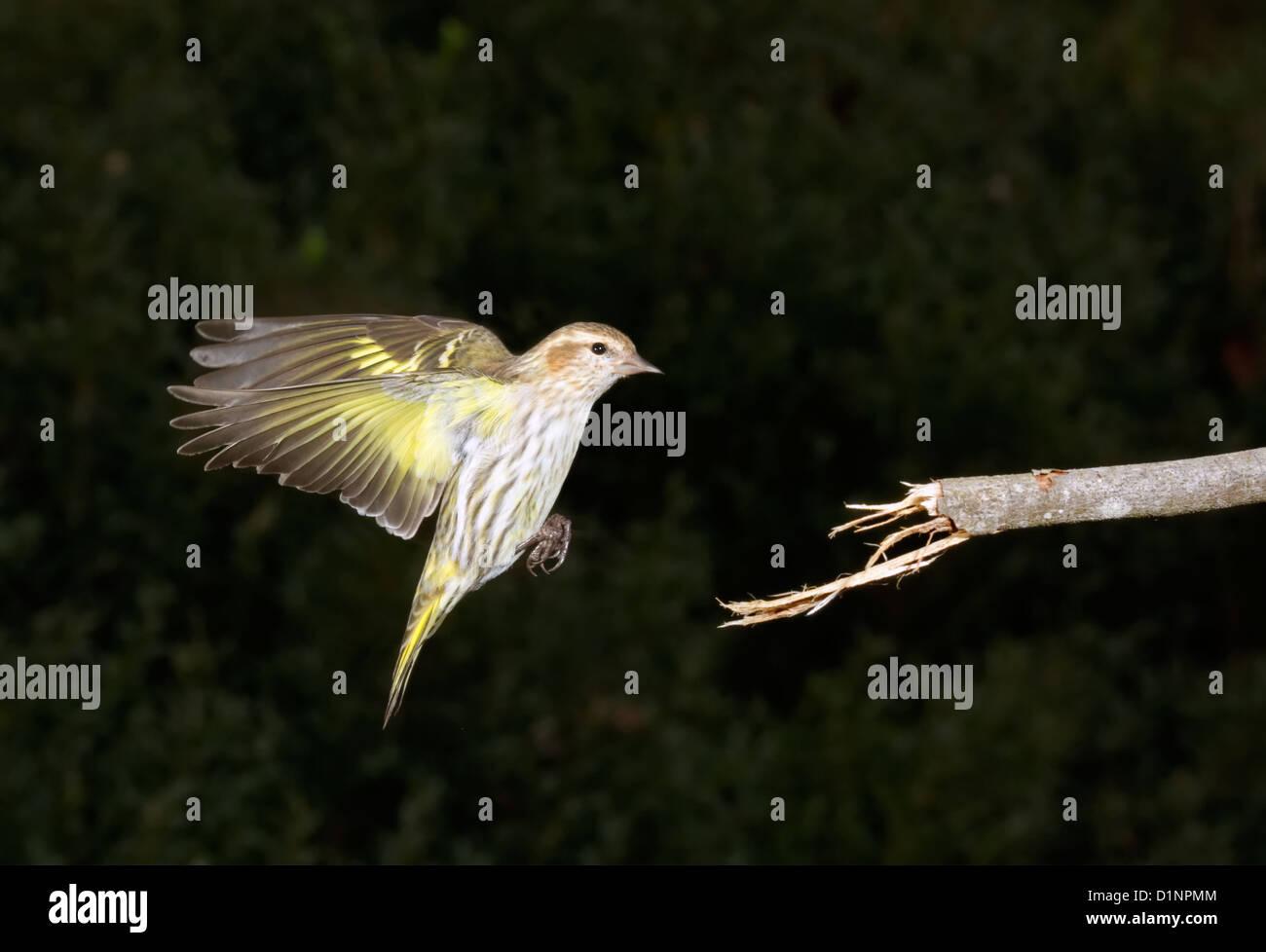 Pine siskin (Carduelis pinus) landing on a tree branch. - Stock Image