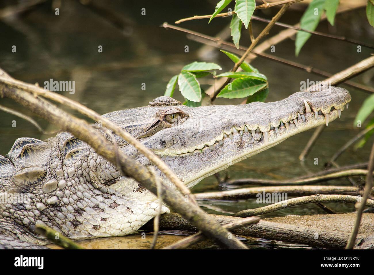 Crocodile (Crocodylidae), Belize, Monkey River, - Stock Image
