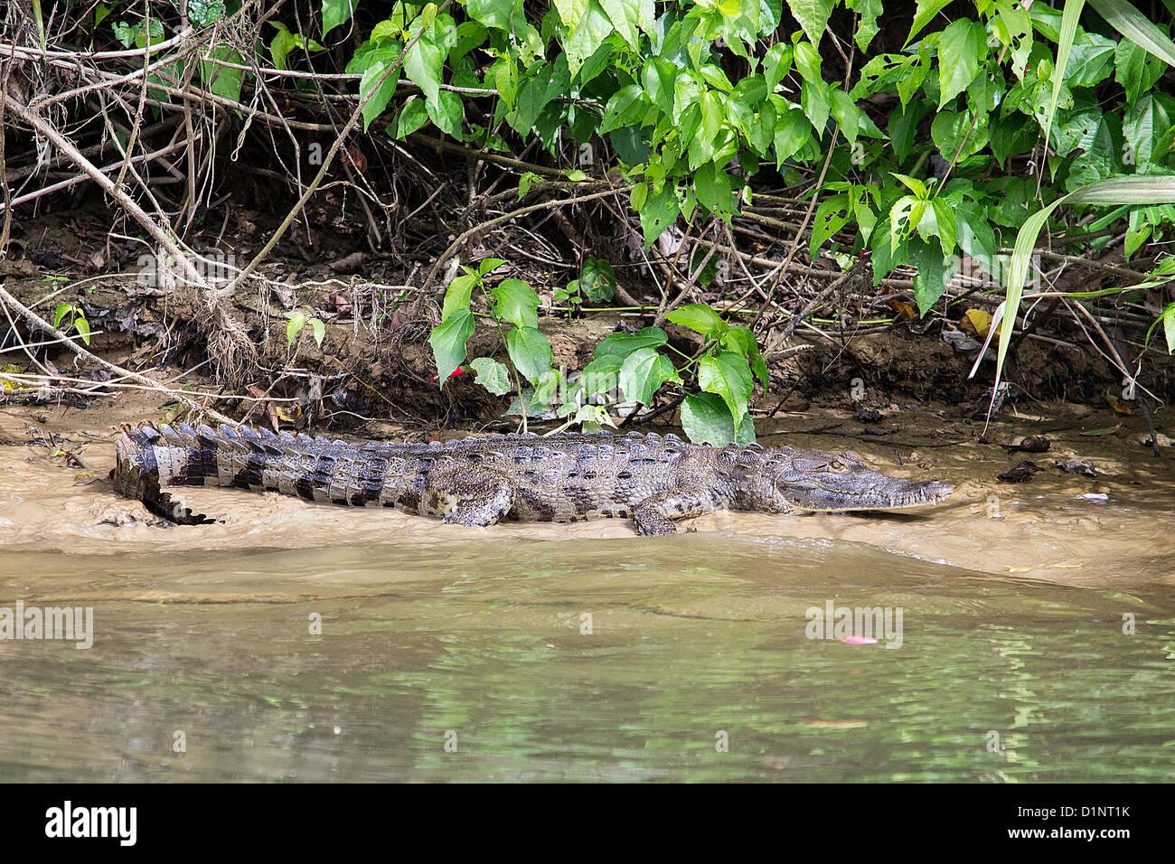 Crocodile (Crocodylidae) - Stock Image
