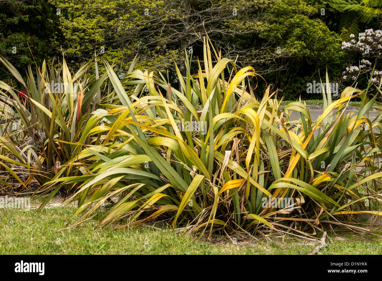 New Zealand flax (Phormium), suffering from yellow leaf disease, or PYLD. - Stock Image