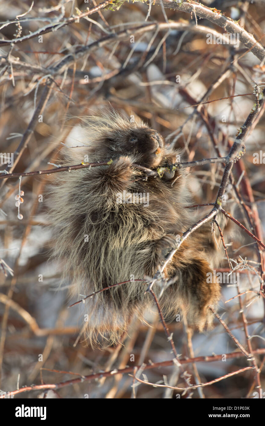 Stock photo of a north american porcupine feeding in a russian olive tree. Stock Photo