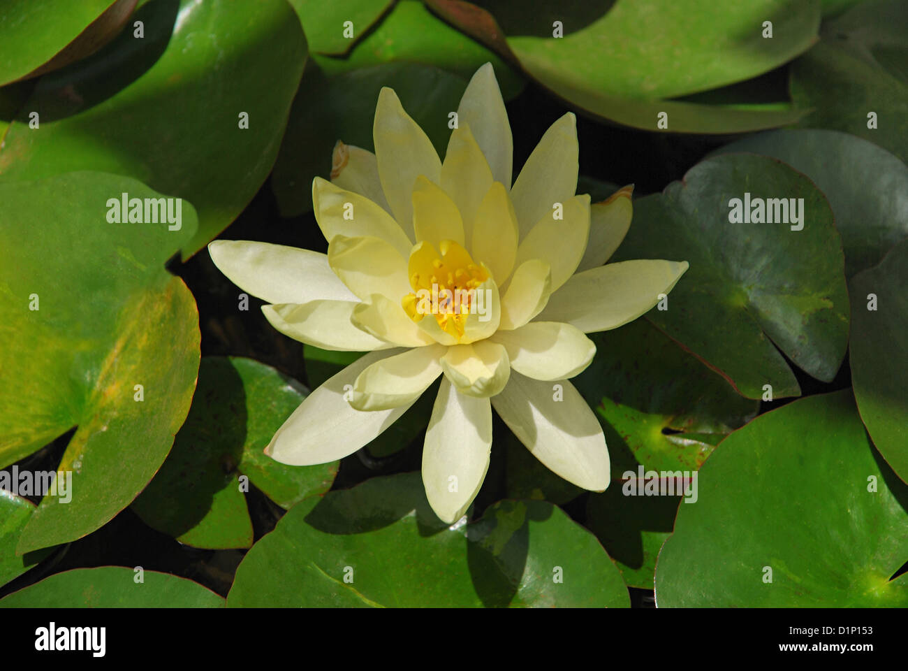 Yellow Lotus Or Nelumbo Lutea Lotus Flower Is The National Flower