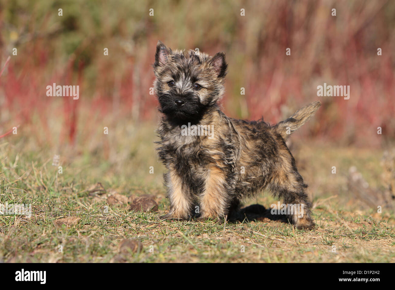 Dog Cairn Terrier puppy brindle standing in a meadow Stock