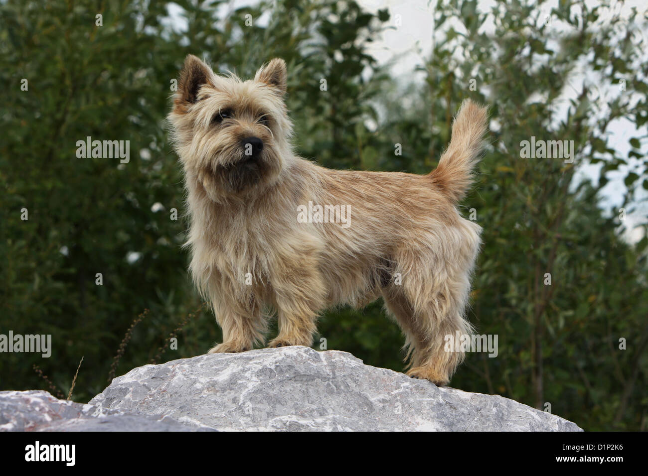 Dog Cairn Terrier adult wheaten standing on a rock Stock