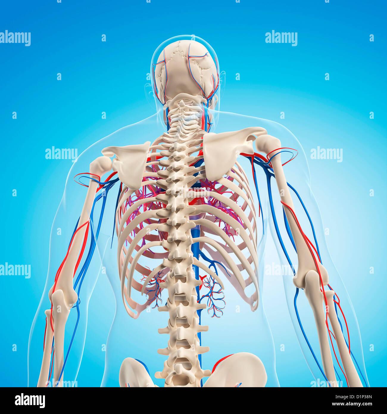 Human Skeletal Anatomy Stock Photos Human Skeletal Anatomy Stock