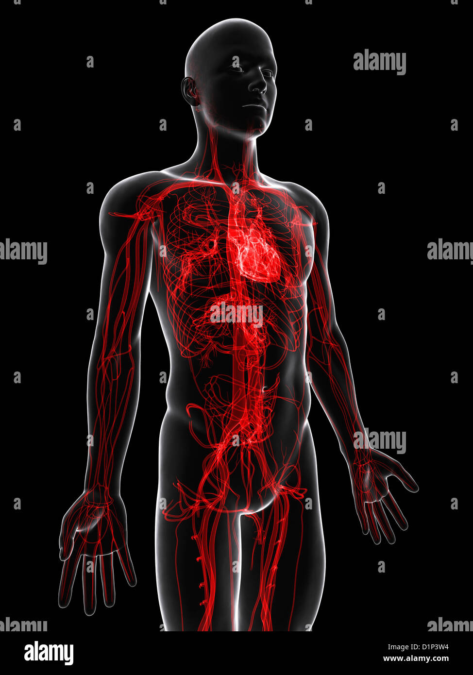 Cardiovascular system, artwork - Stock Image