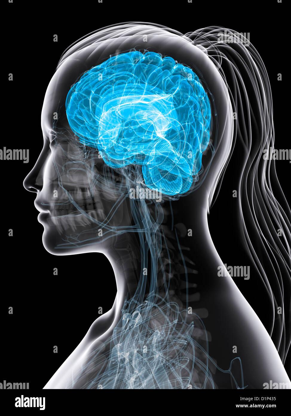 Female brain, artwork Stock Photo