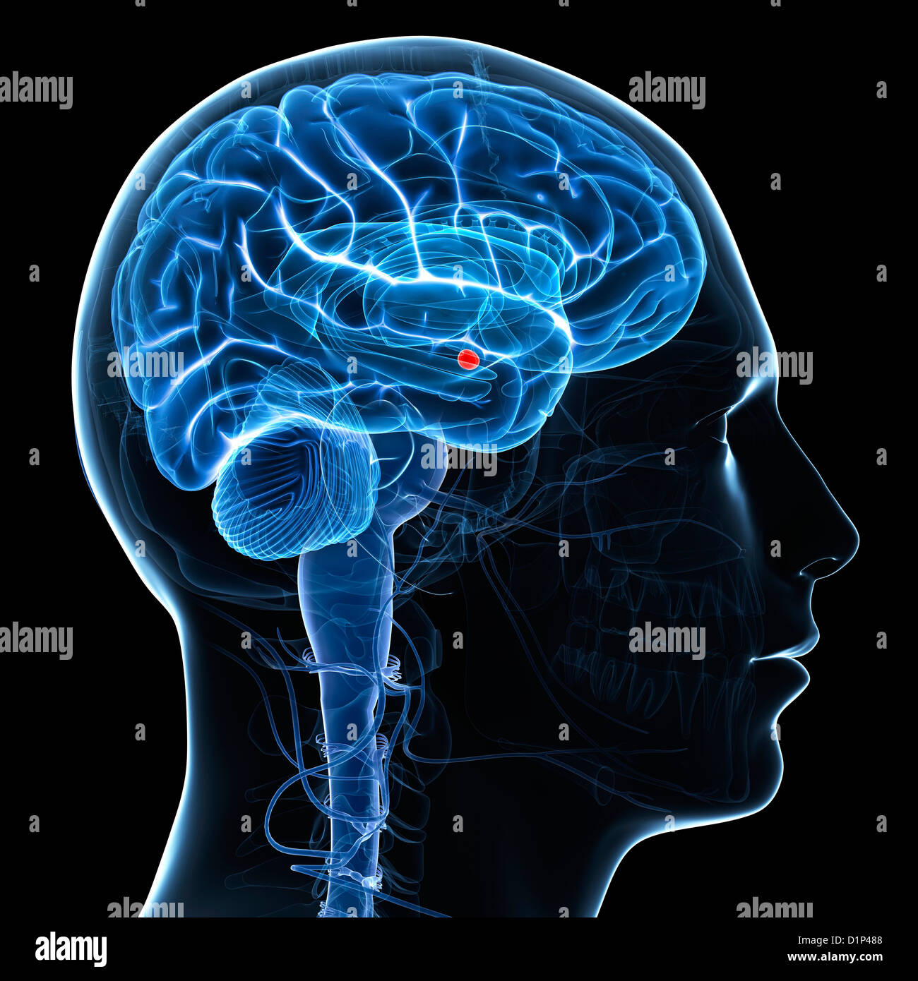 Amygdala of the brain, artwork Stock Photo