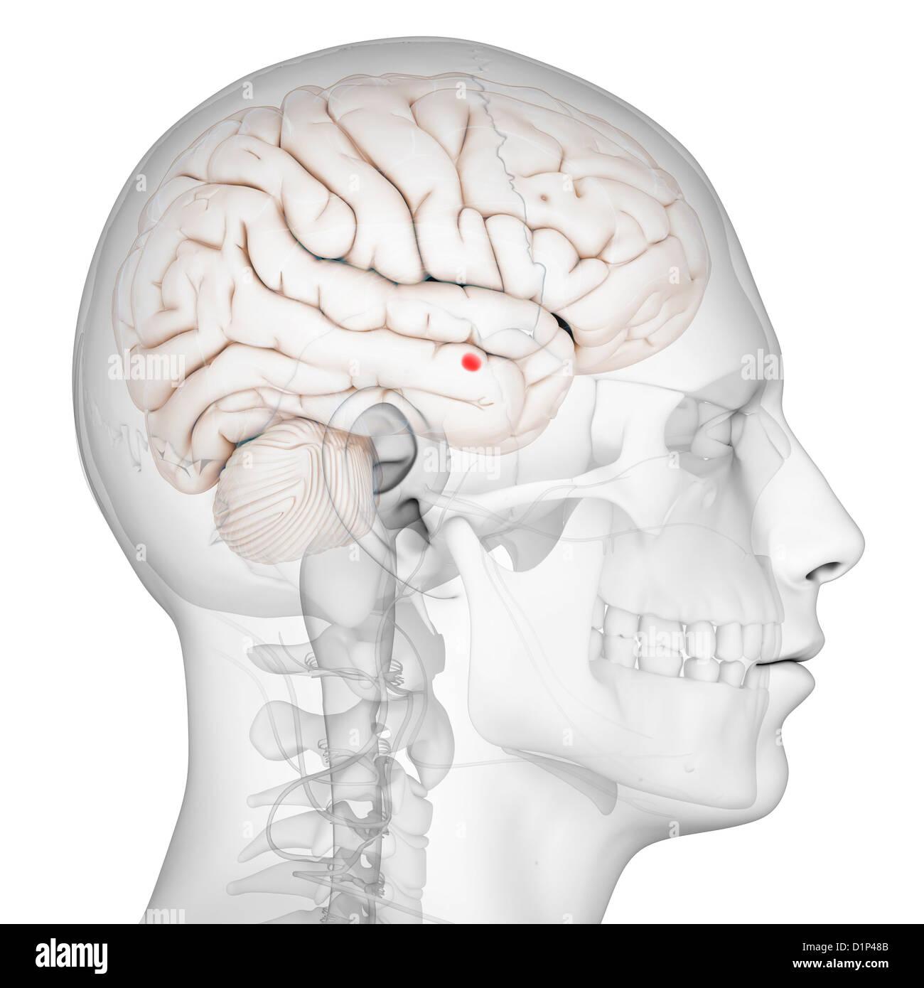Limbic System Brain Stock Photos Limbic System Brain Stock Images