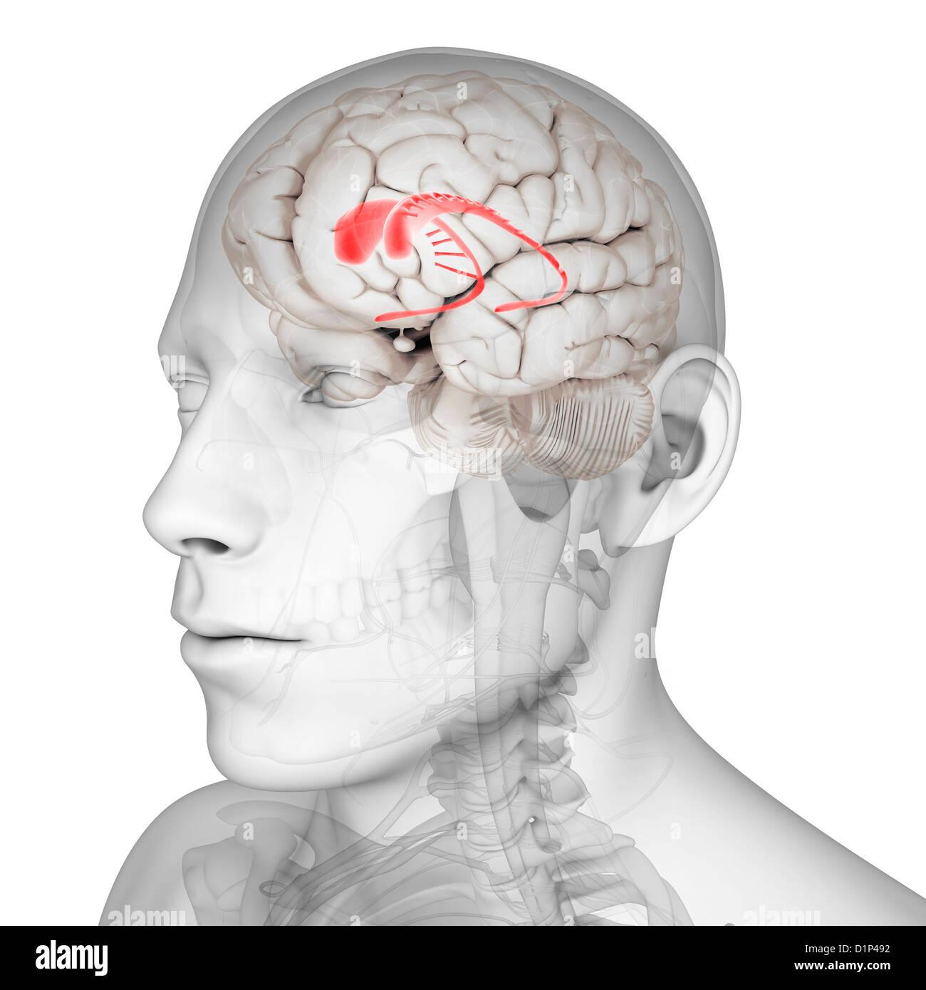 Caudate nucleus, artwork - Stock Image