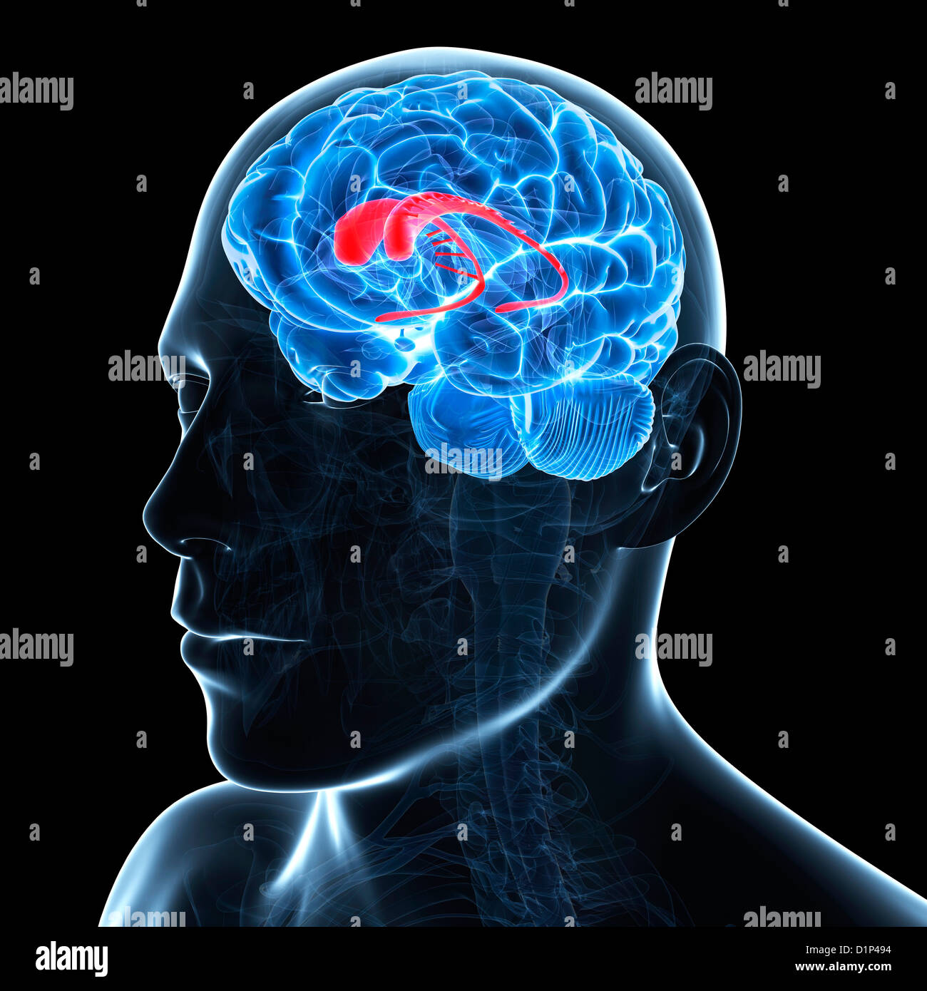 Caudate nucleus, artwork Stock Photo: 52732096 - Alamy