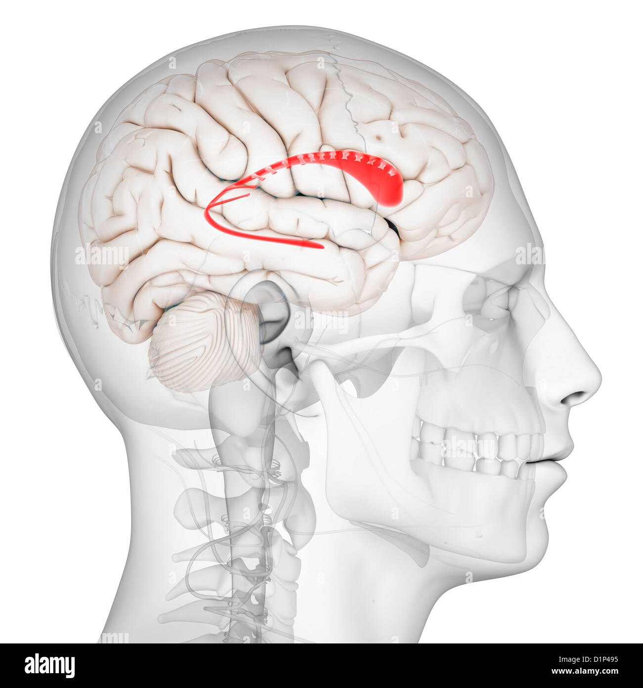 Human Brain Caudate Nucleus Stock Photos & Human Brain Caudate ...