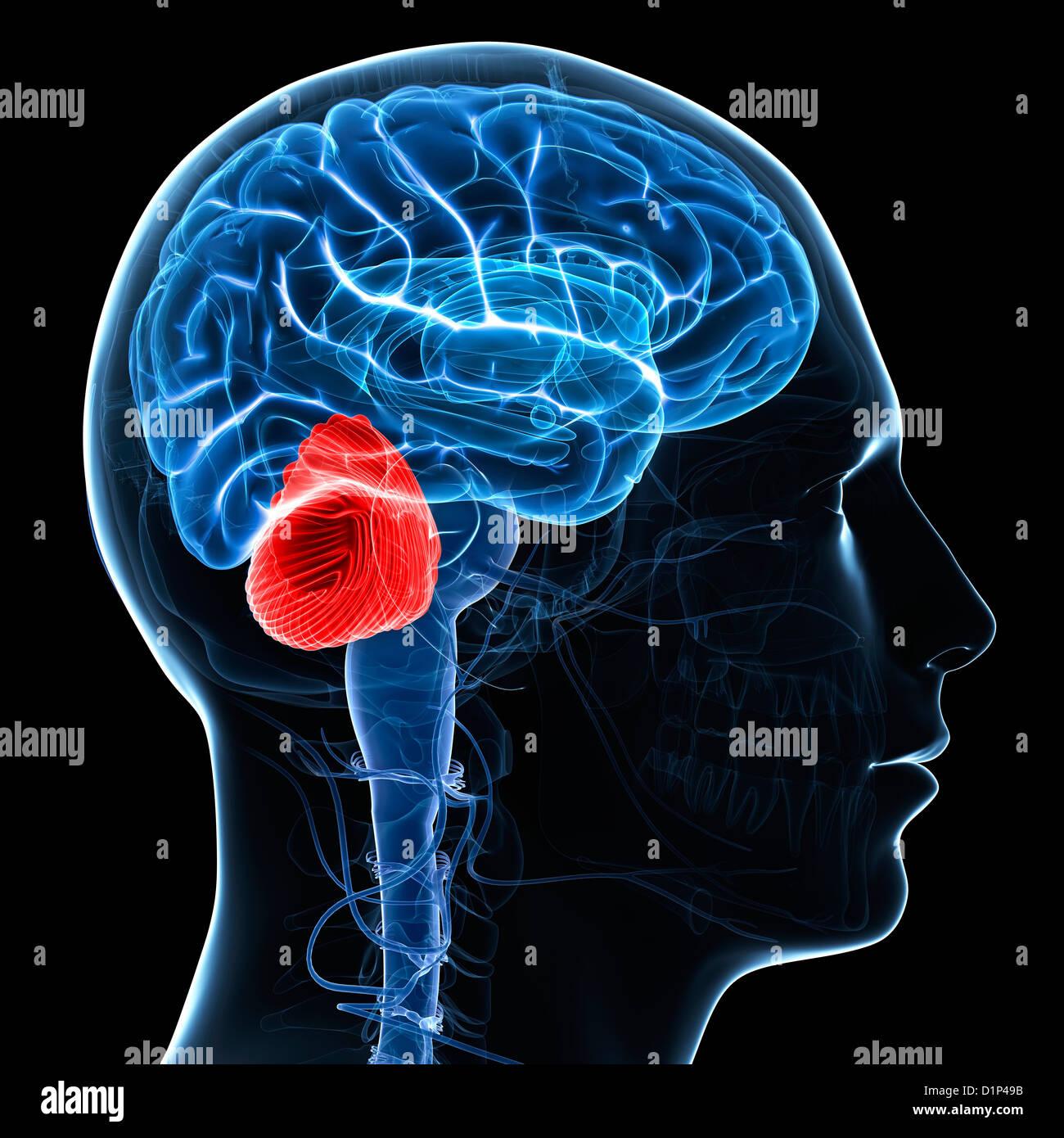 Cerebellum, artwork - Stock Image