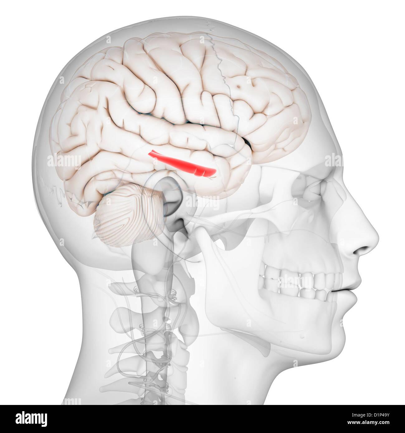 Hippocampus Brain Stock Photos & Hippocampus Brain Stock Images - Alamy