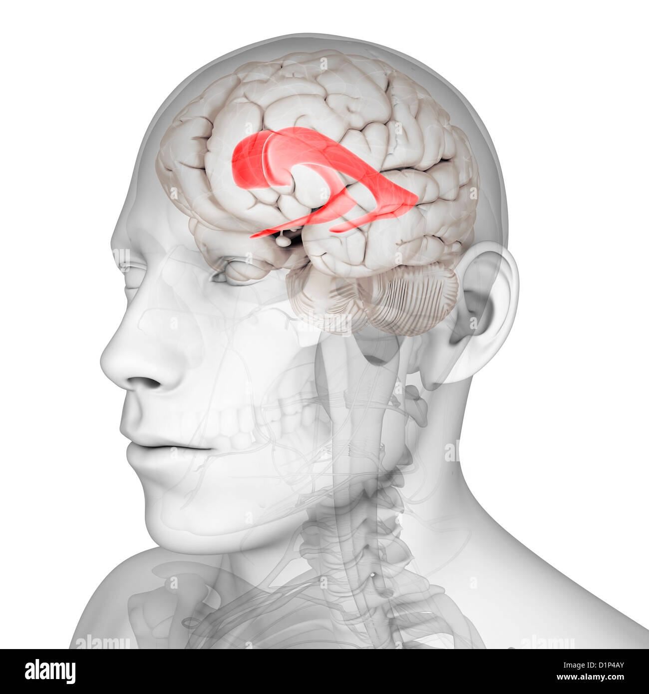 Lateral ventricle, artwork - Stock Image