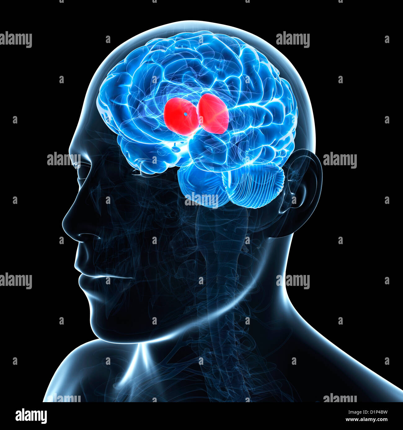 Thalamus, artwork - Stock Image