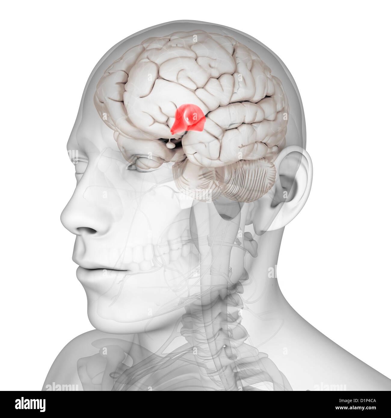 Third ventricle, artwork - Stock Image