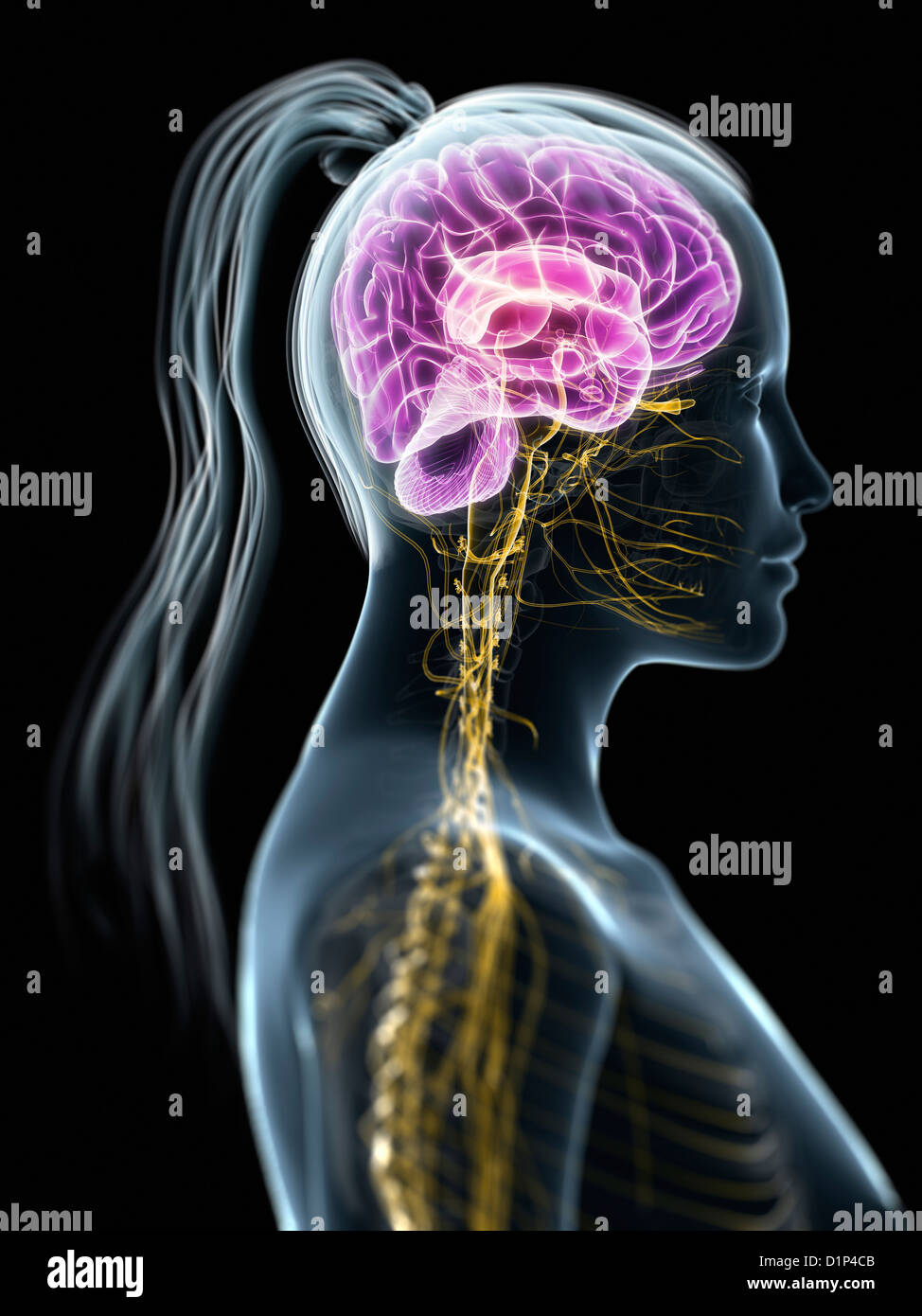 Female Central Nervous System Artwork Stock Photo 52732187 Alamy