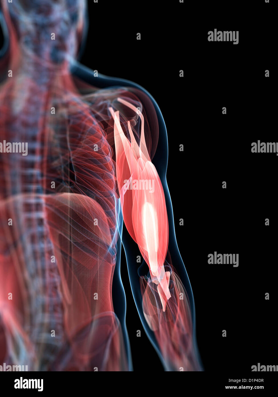 Upper Arm Muscles Stock Photos Upper Arm Muscles Stock Images Alamy