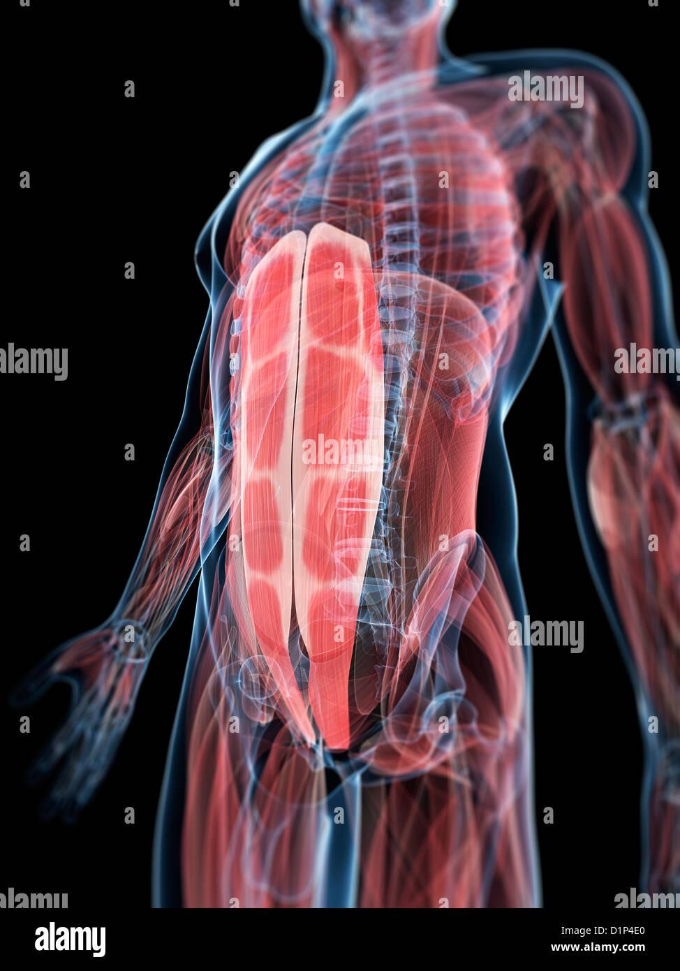 Abdominal Muscles Artwork Stock Photo 52732232 Alamy