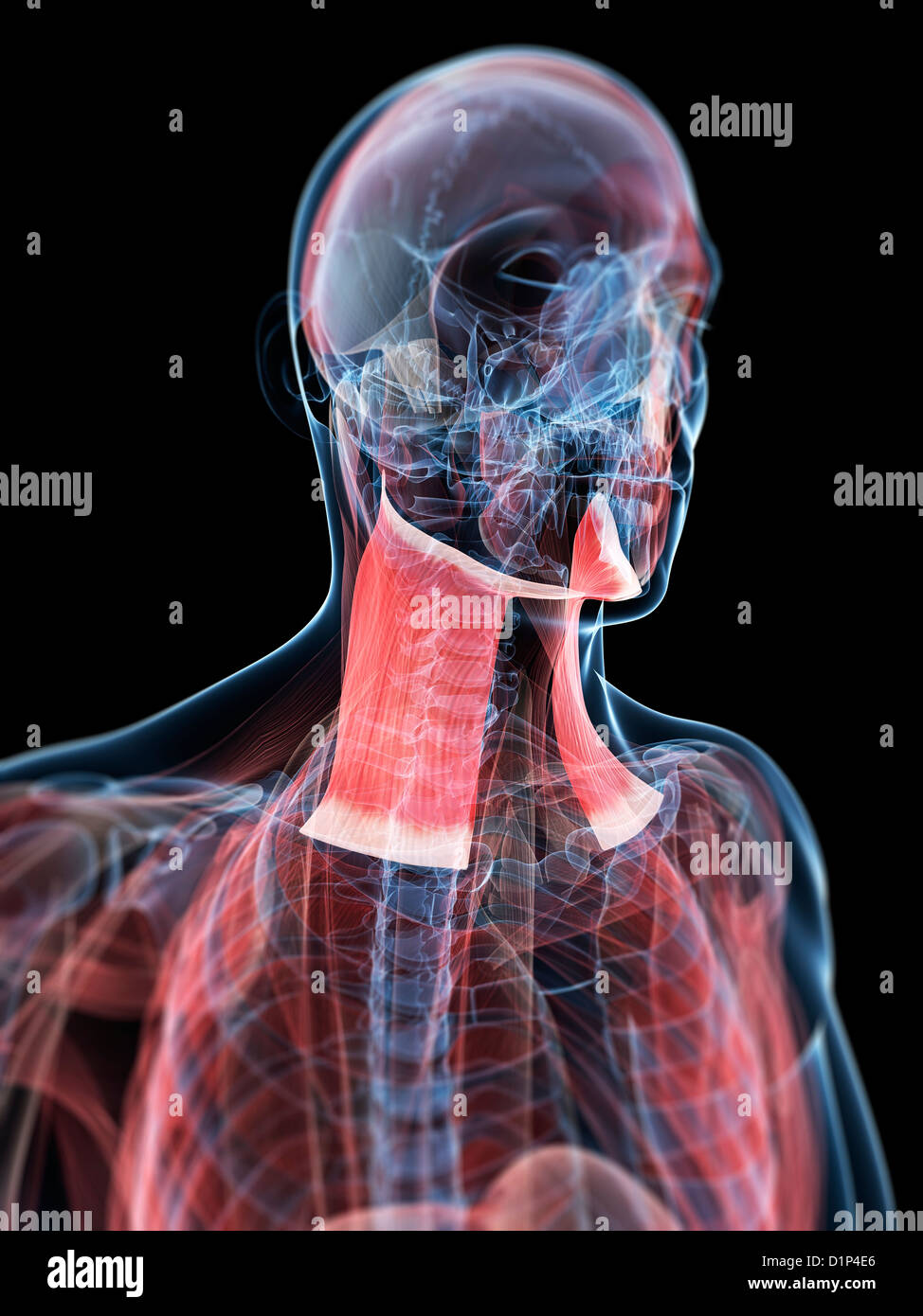 Head And Neck Muscles Stock Photos Head And Neck Muscles Stock