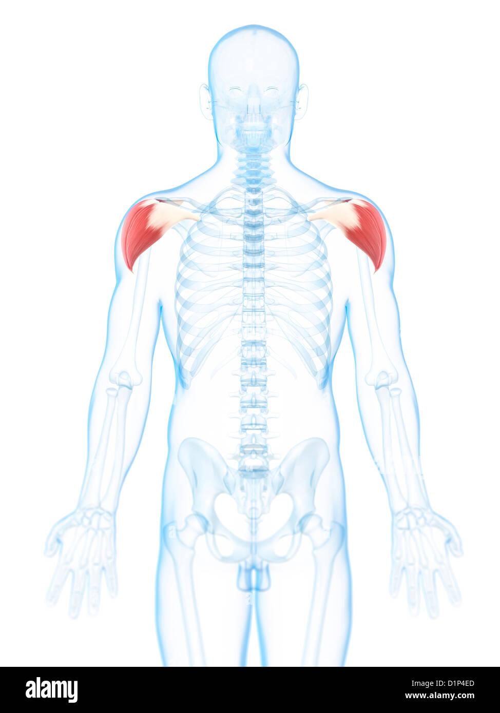 Wunderbar Anatomie Und Physiologie Des Lymphsystems Und Immunität ...