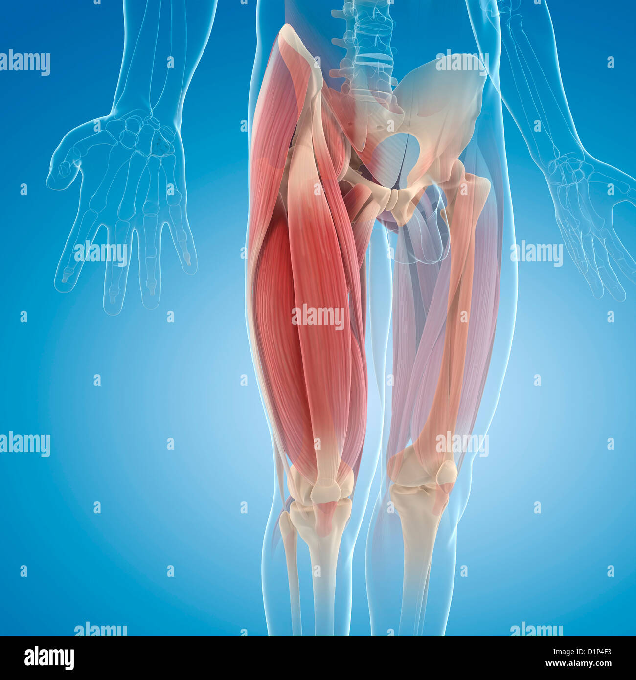Upper Leg Muscles Stock Photos & Upper Leg Muscles Stock Images - Alamy