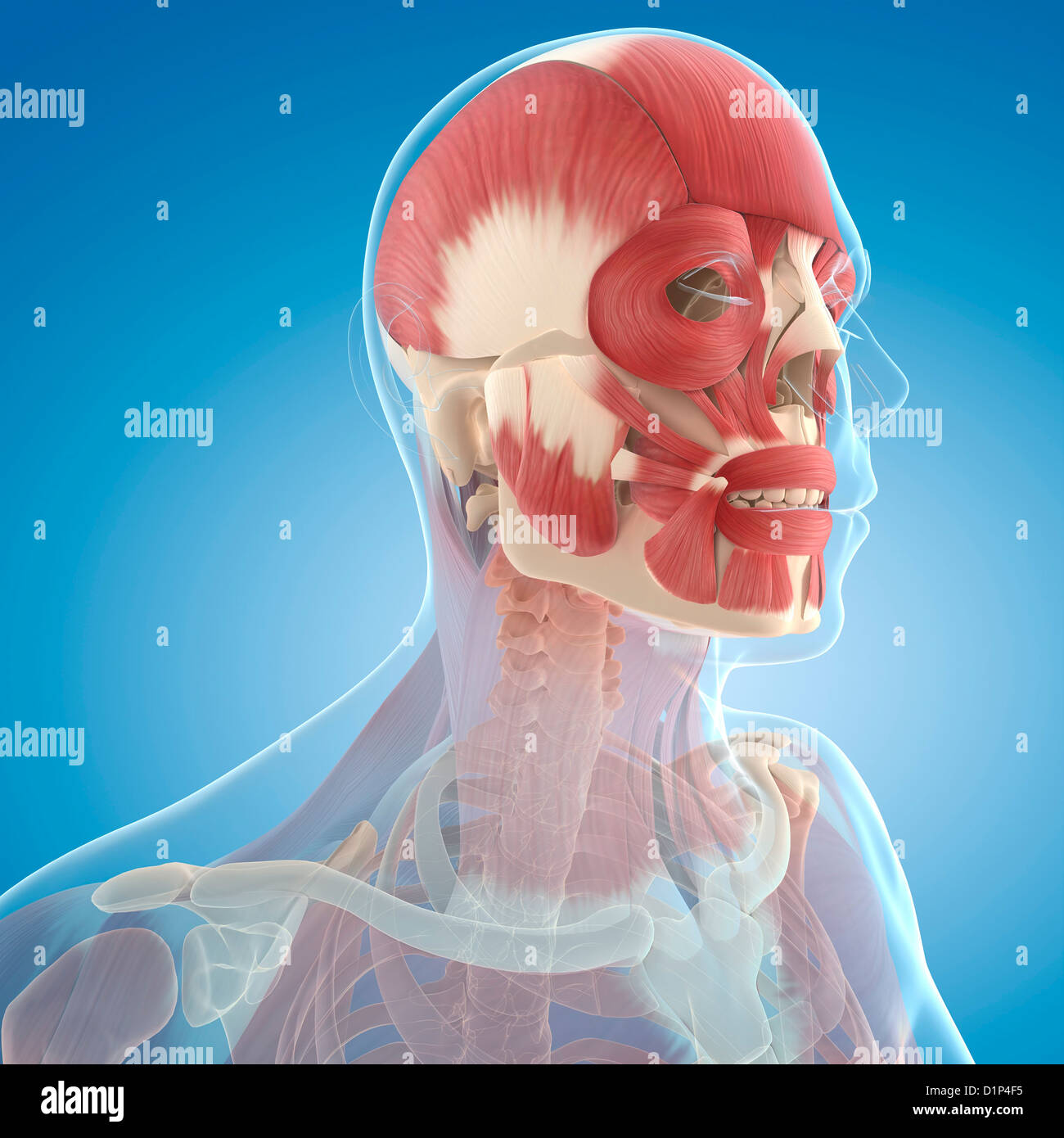 Muscles Of Face Stock Photos Muscles Of Face Stock Images Alamy