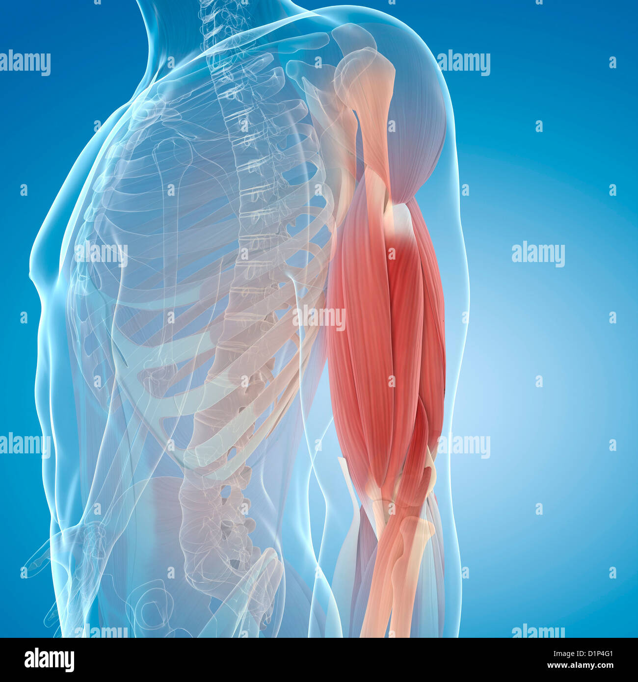 Upper Body Muscles Stock Photos Upper Body Muscles Stock Images