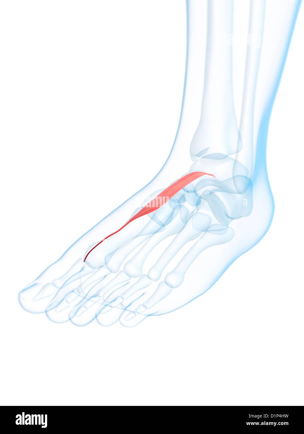 Human Muscle Foot Anatomy Stock Photos Human Muscle Foot Anatomy