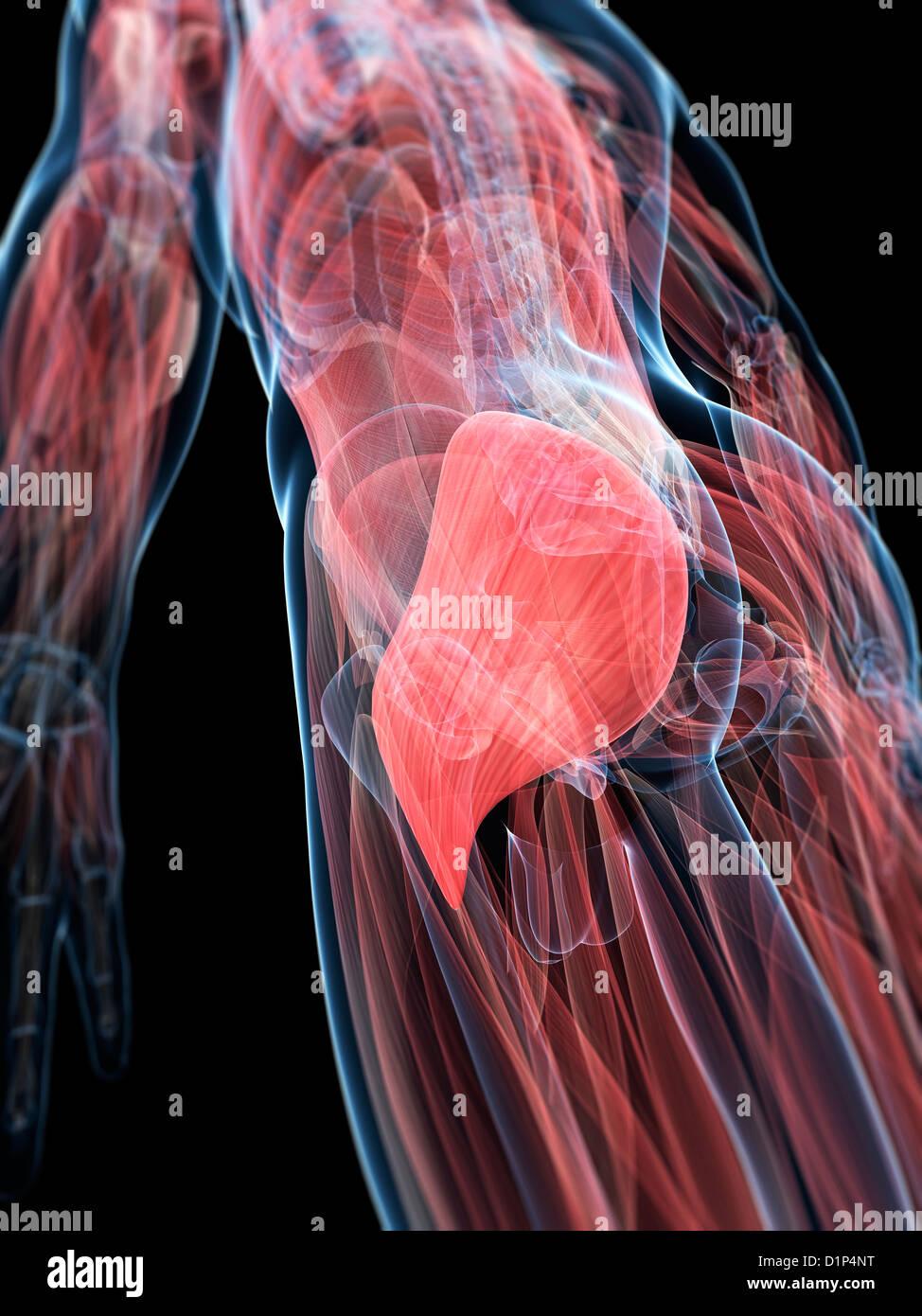 Human Gluteus Maximus Muscles Stock Photos & Human Gluteus Maximus ...