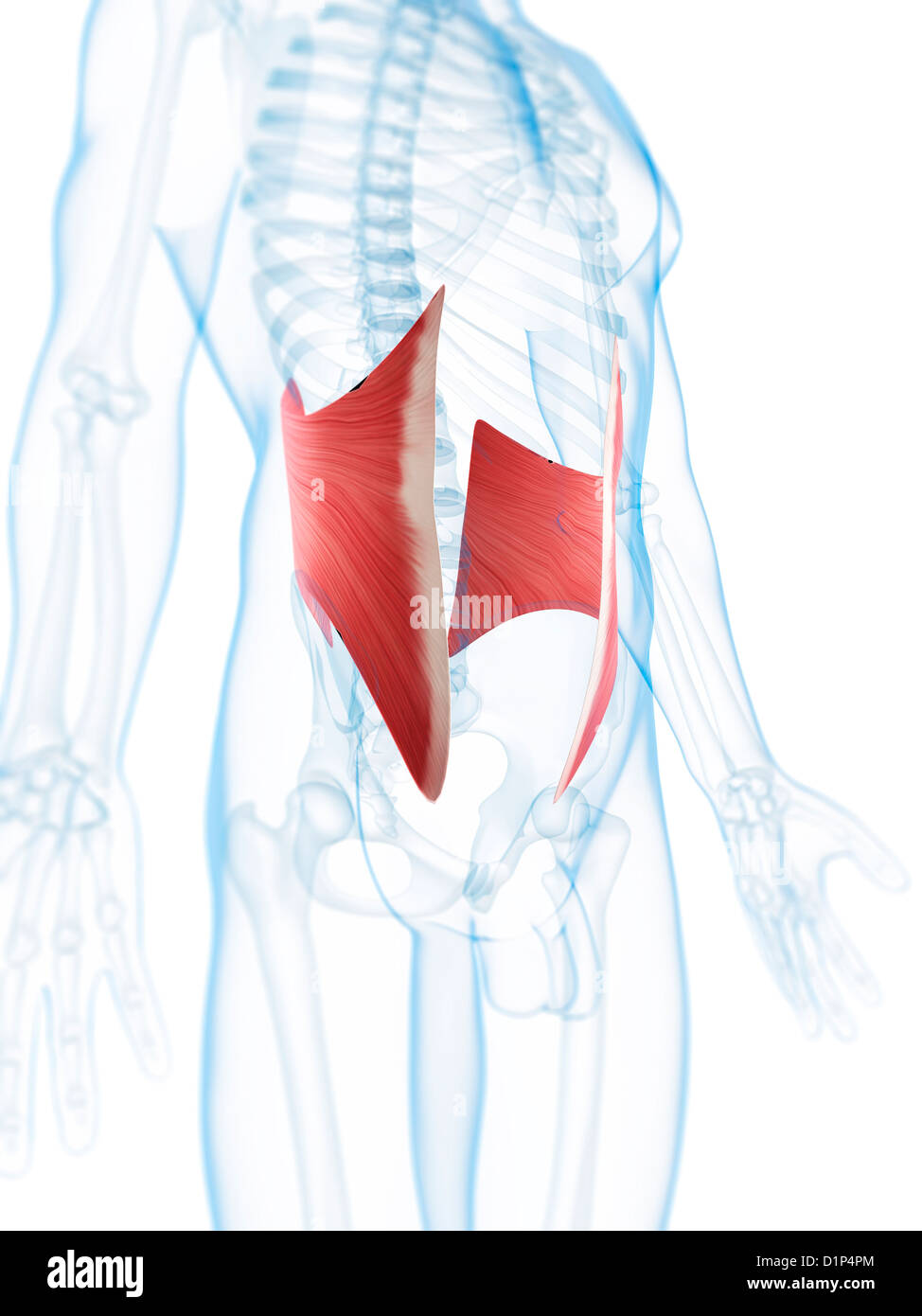 Abdominal Muscles Stock Photos Abdominal Muscles Stock Images Alamy