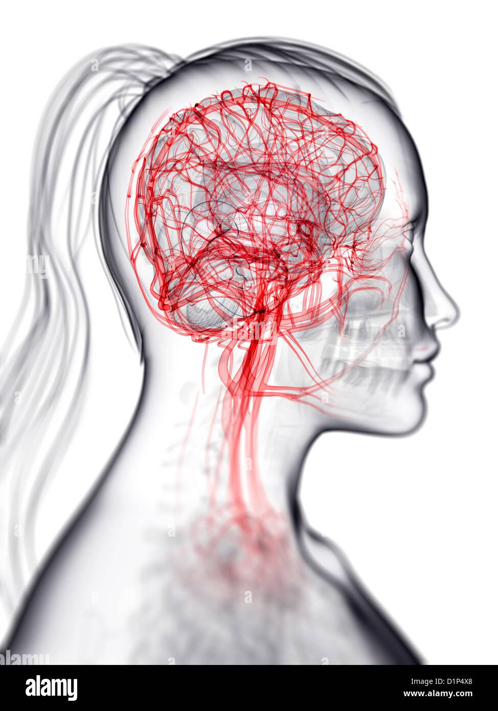 Brain's blood supply, artwork - Stock Image