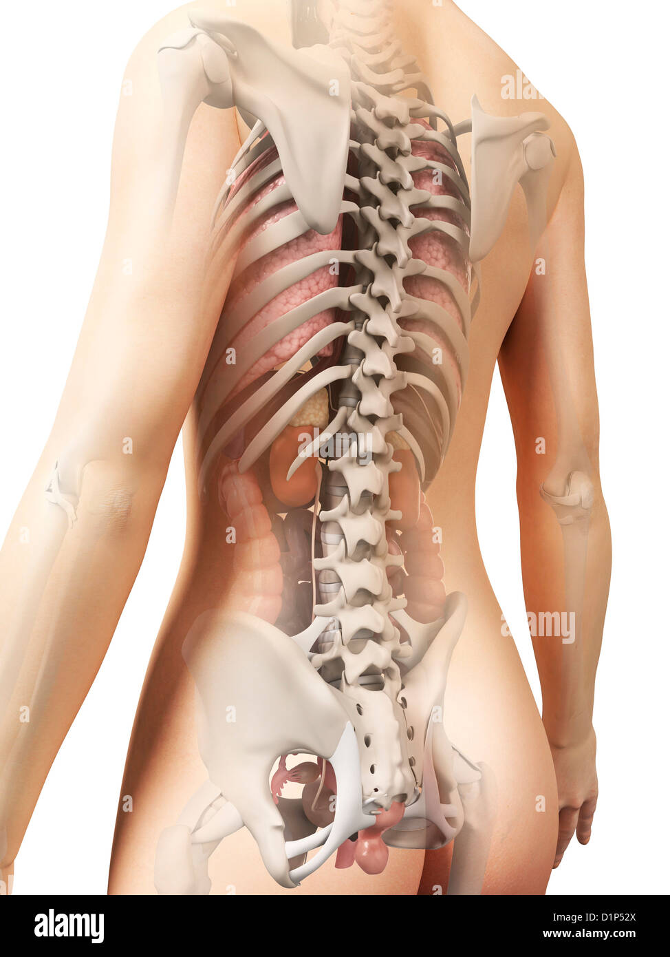Anatomy Female Pelvis Stock Photos Anatomy Female Pelvis Stock