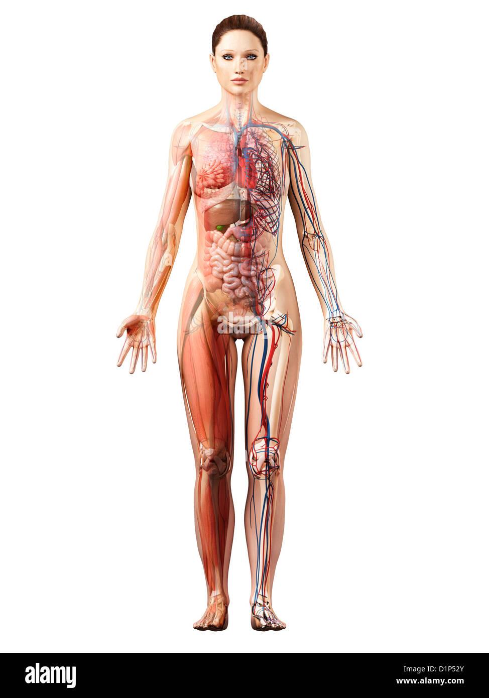 Female Muscle Anatomy Stock Photos Female Muscle Anatomy Stock