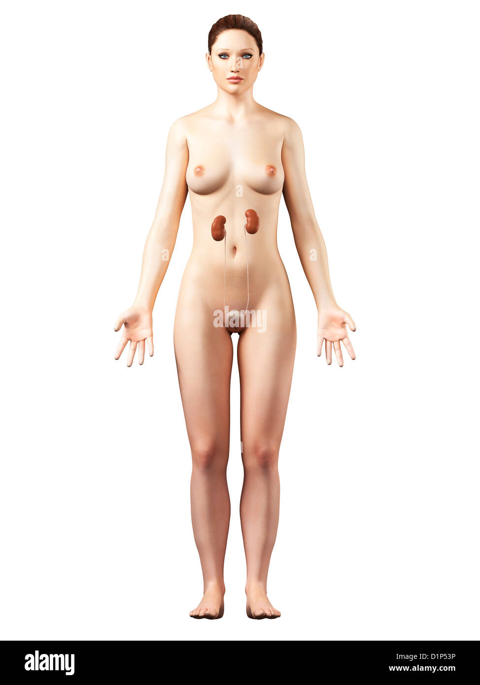 Female urinary system, artwork - Stock Image
