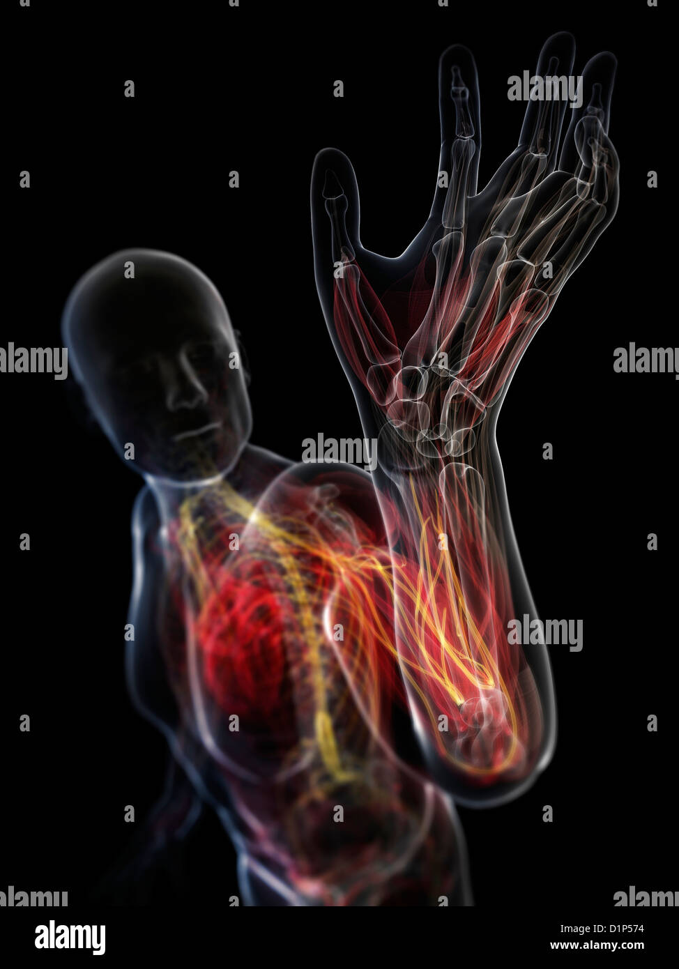 Male Chest Anatomy Stock Photos Male Chest Anatomy Stock Images