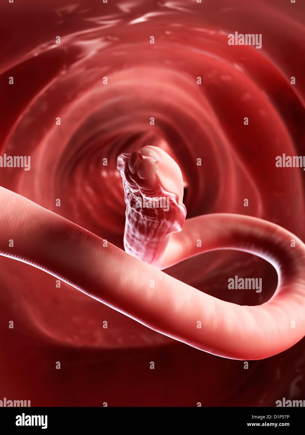 Roundworm, artwork - Stock Image