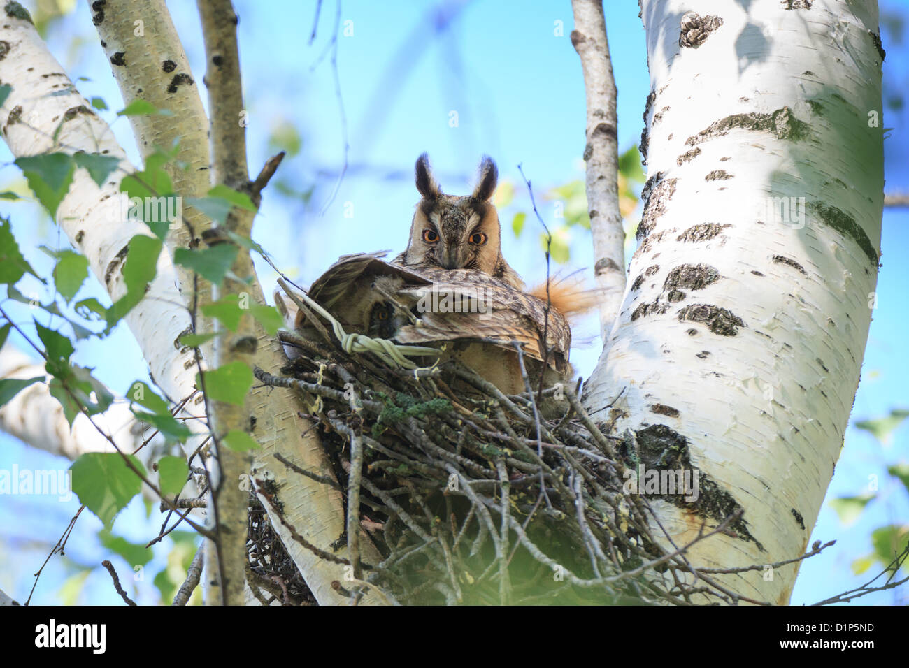 Asio otus, Long-eared Owl. Nest of a bird with eggs in the nature. Bird warms its chicks in the nest. - Stock Image
