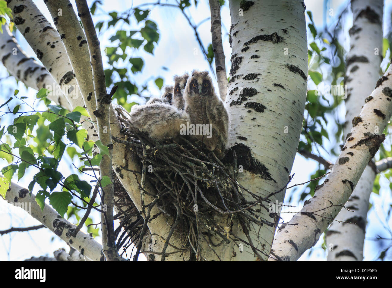Asio otus, Long-eared Owl. Nest of a bird with baby birds in the nature. - Stock Image