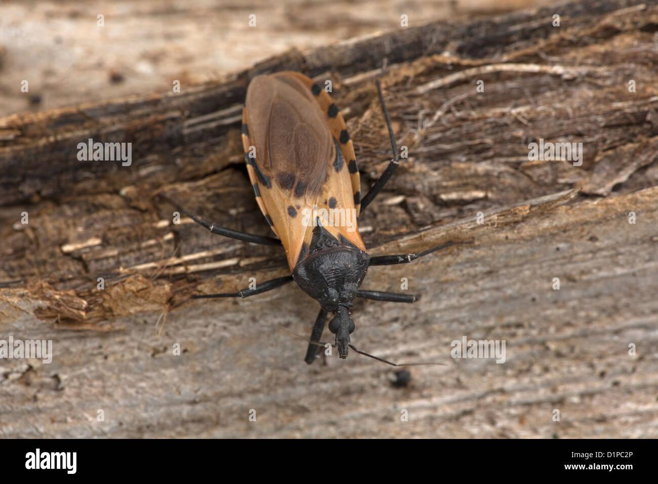 Kissing bug Triatoma dimidiata,the major vector of Trypanosoma cruzi in Costa Rica,  Transmits Chagas' disease,family - Stock Image
