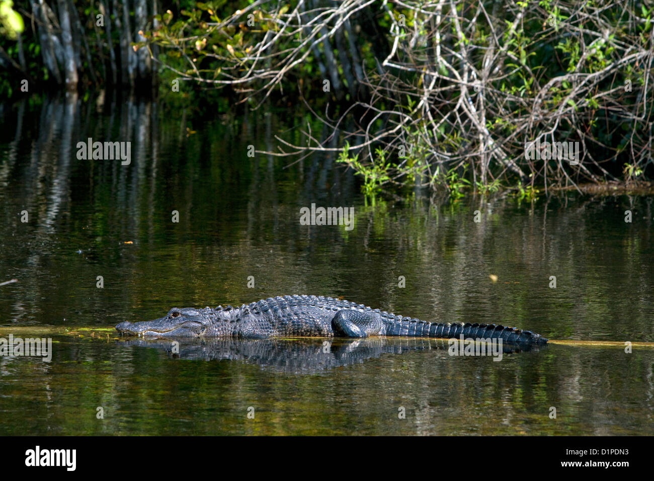 American Alligator in the Florida everglades. - Stock Image