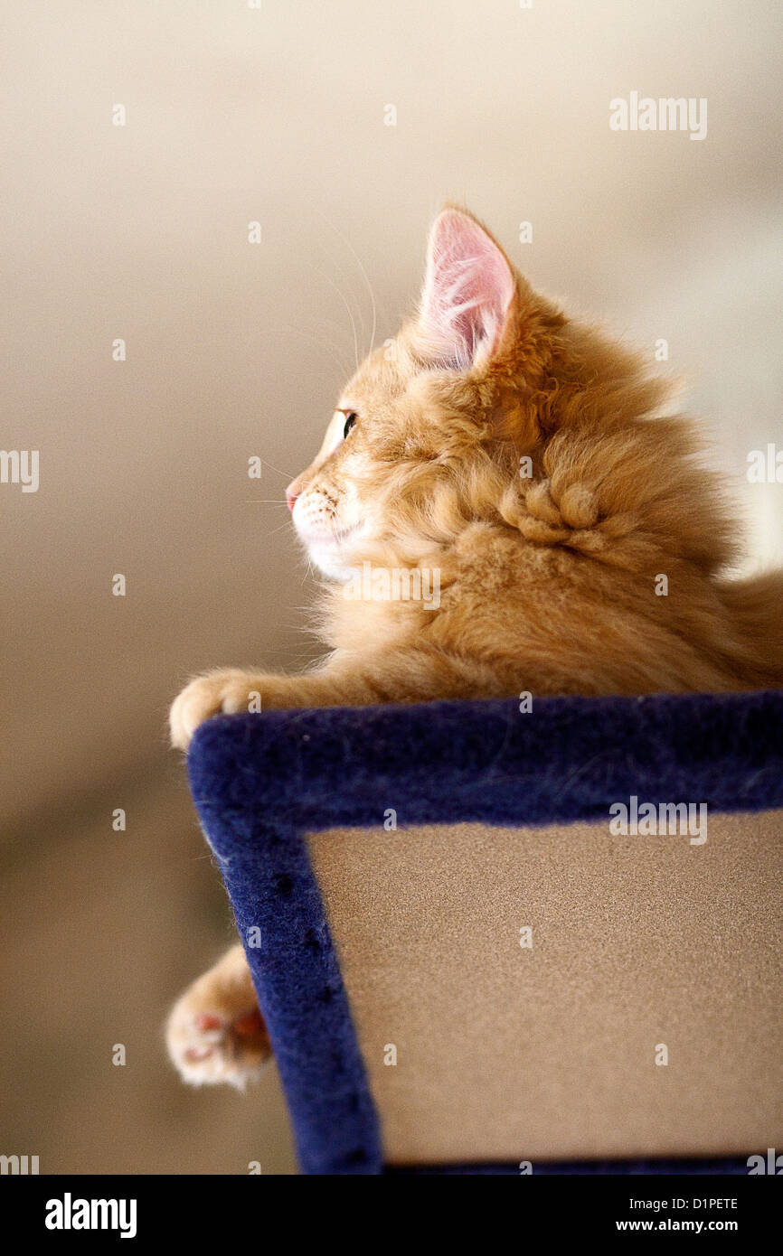 kitten sitting on a cat tree - Stock Image