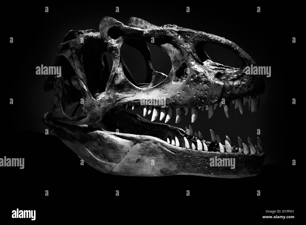 Skull of Tyrannosaurus Rex against a black background - Stock Image