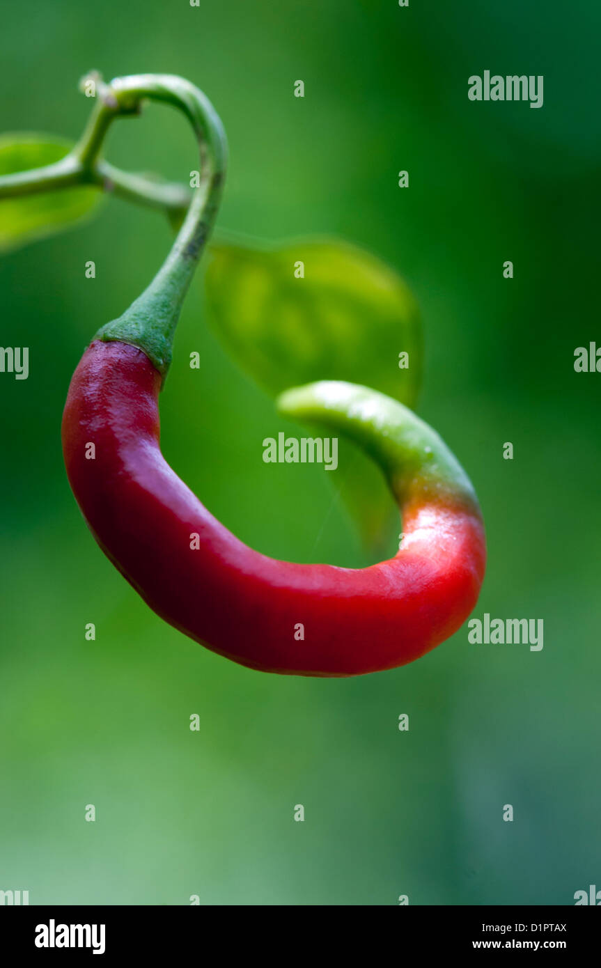 Close up  of red chili growing on plant - Stock Image